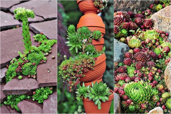 Компактные формы, мелкая корневая система и скромные потребности в почве и влаге открывают широкие возможности для создания цветников
