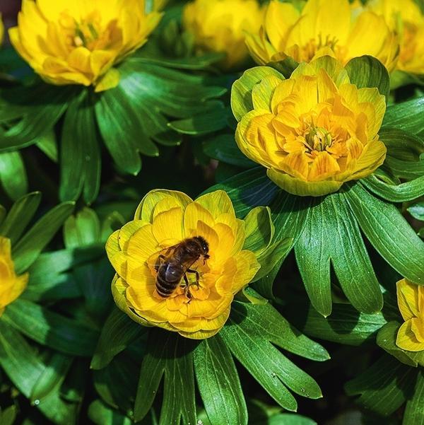 Lady Lamortagne - весенник редкого сорта с крупными махровыми цветками.