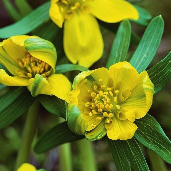 Grunling пленяет броскими желтыми цветками с зелеными полосками на лепестках.