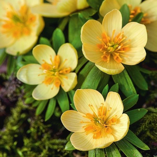 Цветки Schwefelglanz выделяются меняющейся окраской: абрикосовый оттенок постепенно становится светло-желтым.