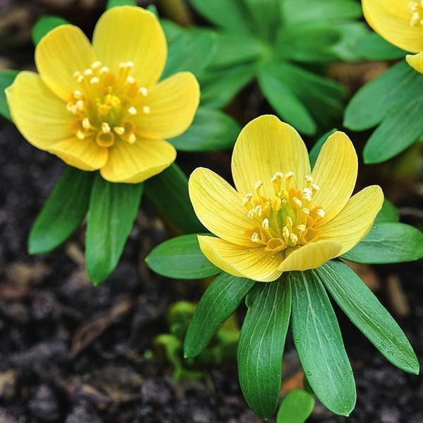 Pauline похож на Schwefelglanz, но медленнее разрастается и его цветки посветлее.