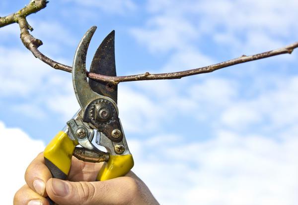 Укоротите ветви, чтобы уменьшился диаметр кроны