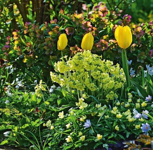 Влажные от росы тюльпаны парят над цветником. В роли свиты выступают первоцвет весенний (Primula veris), анемона дубравная (Anemone nemorosa) и морозники. От яркой компании глаз не отвести!
