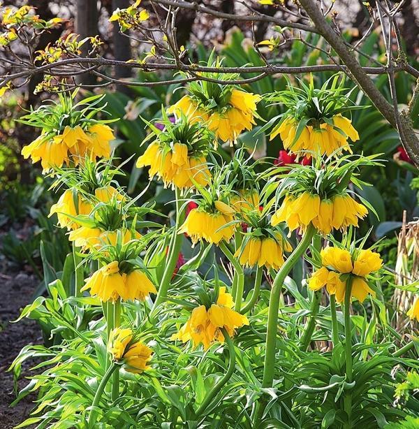 Рябчик императорский (Fritillaria imperialis) 'Lutea Maxima' радует глаз букетами желтых колокольчиков, собранными на мощном цветоносе.