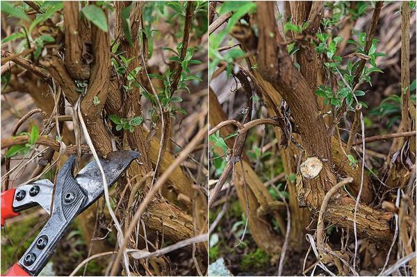 3. Секатором срежьте одну из двух конкурирующих между собой ветвей.  4. Оставшаяся ветка теперь имеет достаточно места для полноценного развития.
