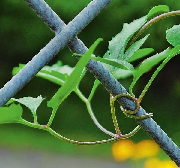 Клематис и К держатся за опору, обвивая ее черешками листьев. Именно поэтому перекладины должны быть тонкими.