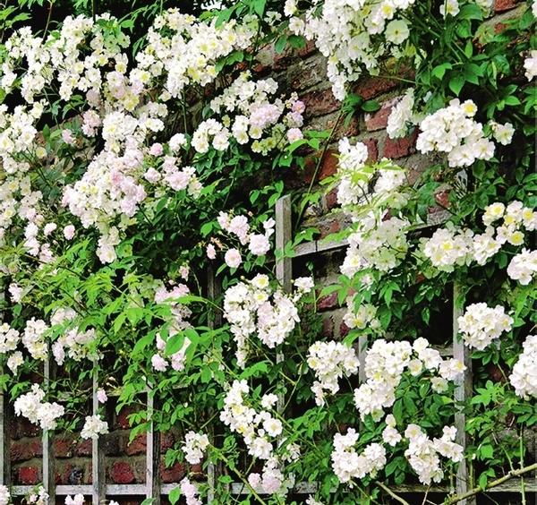 Роза Bobby James усыпана белыми цветками. Этот рамблер отлично подходит для озеленения фасадов и старых плодовых деревьев.