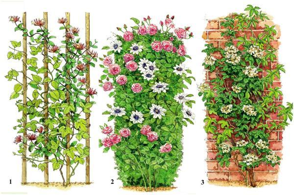 Слева: Вьющиеся лианы - жимолость и хмель.  В центре: Самая известная полулиана - плетистая роза - скомбинирована с клематисом (он относится к цепляющимся лианам). Справа: Лазящие лианы девичий виноград и гортензия черешковая крепятся к вертикальной поверхности воздушными корнями или аппрессориями.