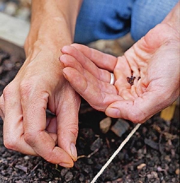 При посеве в открытый грунт сделайте бороздки на расстоянии 30 см друг от друга и разложите семена, оставляя 3-4 см между ними.