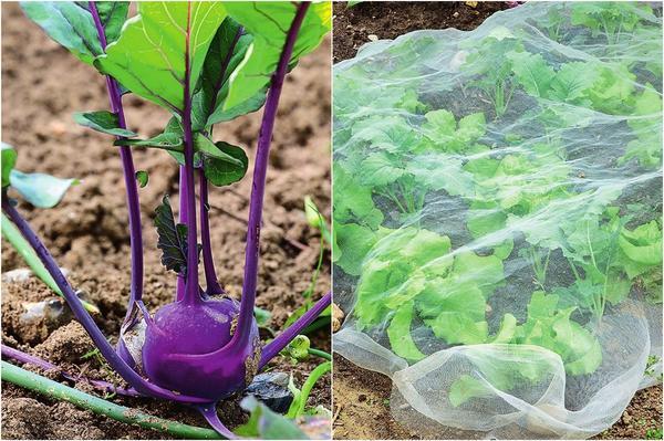 Слева: Растрескивание стеблеплодов - следствие резких перепадов от сухости к переувлажнению почвы.  Справа: Чтобы урожай на грядке не подпортили вредители, накройте овощи легким нетканым материалом.