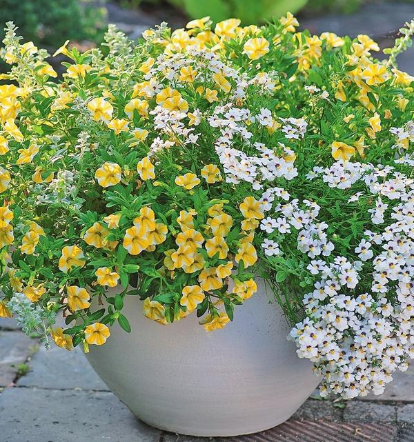 Калибрахоа Lemon Slice и немезия с белыми цветками.