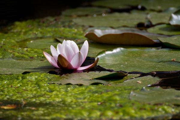 В непроточном водоеме вода в жару часто зацветает