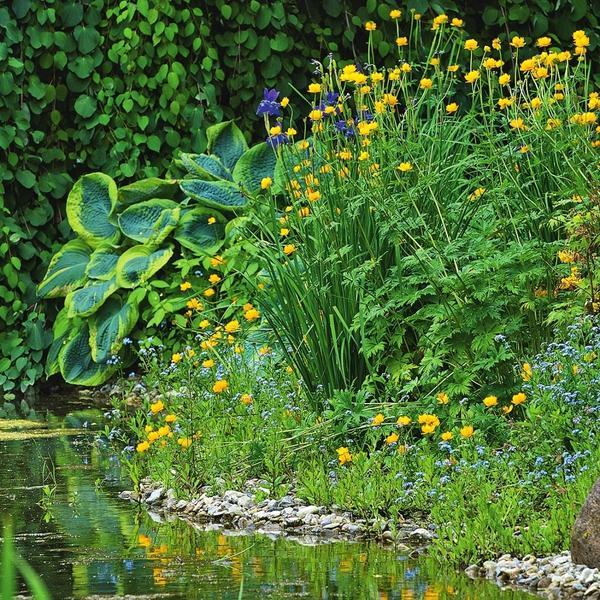Ирис болотный (Iris pseudacorus) благодаря своей неприхотливости и эффектным цветкам прекрасно подходит для садового водоема