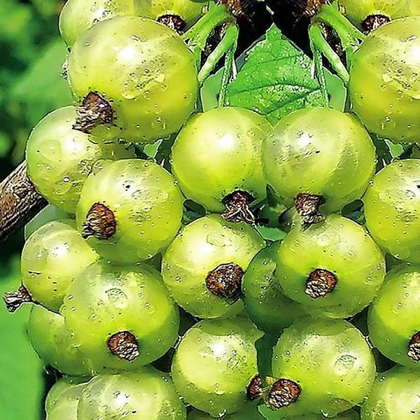 Смородина зеленая Снежная Королева (БЭСТ) — среднепоздний, неприхотливый и зимостойкий сорт с ягодами кисло-сладкого освежающего вкуса.