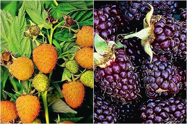 Малина с желтыми ягодами Autumn Sun и малина с черными ягодами Black Jewel