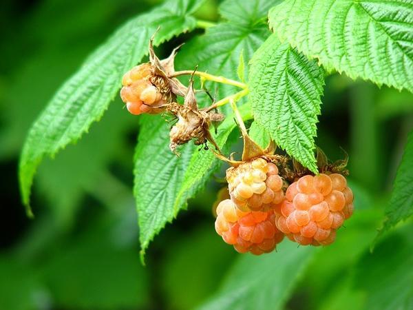 Желтоплодные сорта со сладкими ягодами выращивают только для потребления свежими
