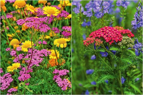 Слева: Розовый тысячелистник обыкновенный с желтой пупавкой красильной. Справа: Кирпично-красный тысячелистник обыкновенный Paprika и сине-фиолетовая вероника Shirly Blue.