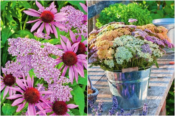 Слева: Эхинацея и тысячелистник обыкновенный. Справа: Для букета тысячелистник срезают, когда в соцветии распустятся абсолютно все цветки.
