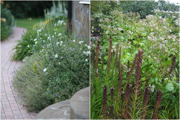 Слева: Именно эта непохожесть позволяет нам сочетать лиатрис со множеством различных растений.  Справа: Поздно осенью соцветие становится коричневым, а листочки приобретают красноватые оттенки