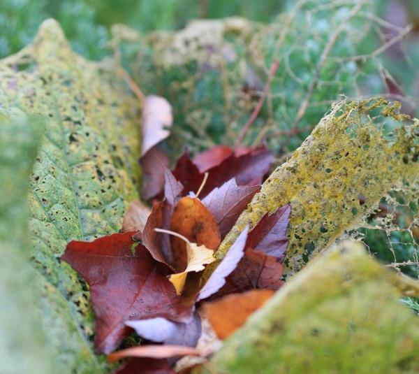 Листья катрана
