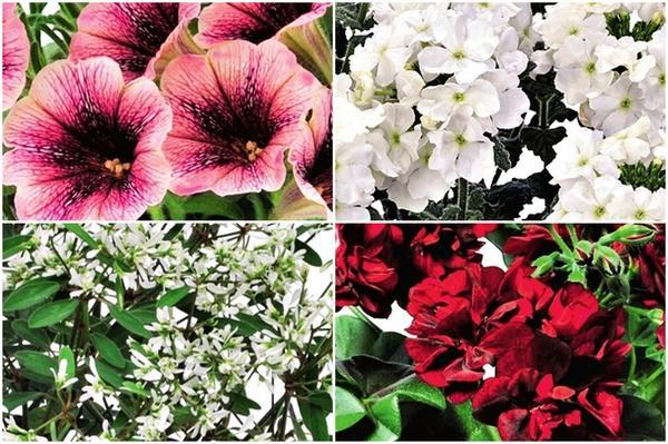 1) петуния Sweetunia Mystery, 2) вербена Empress Flair White, 3) молочай Star Dust White Flasch, 4) ампельная пеларгония Pacific Burgundy