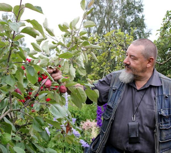 Урожайность этой яблоньки высокая - не уступает Антоновке.