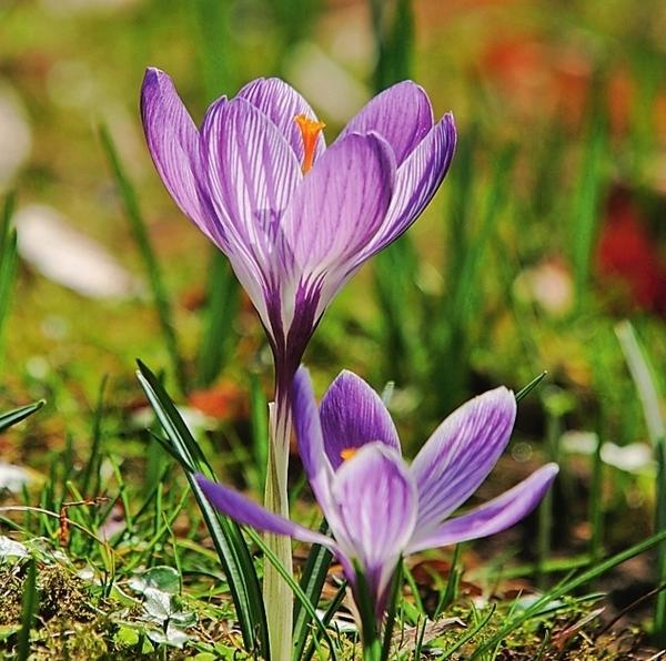 Крокусы замечательно уживутся по соседству с ранними тюльпанами.