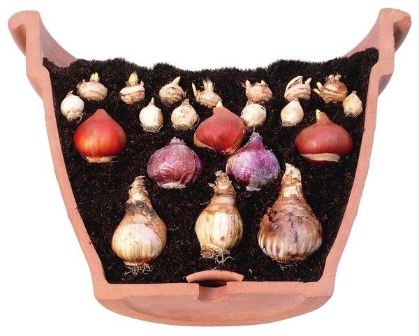 Луковичная лазанья в разрезе: чем ближе дно корзины, тем крупнее луковицы.