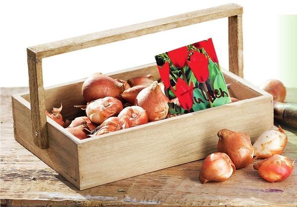 Если выращиваете тюльпаны как однолетники, об удобрениях и подкормках можно не беспокоиться