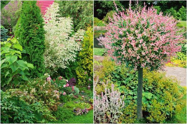 Слева: Миксбордер с участием розового клена может располагаться как вдоль границы участка, так и в его пределах. Справа: Отдельно стоящее дерево на газоне выглядит и роскошно, и лаконично.