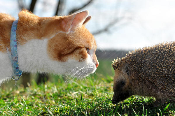 Кошки и ежи помогают бороться с садовыми вредителями