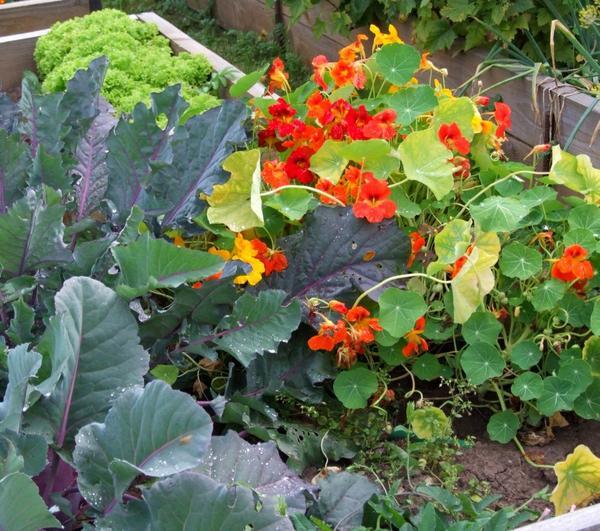 Декоративный огород более урожайный, чем традиционный.