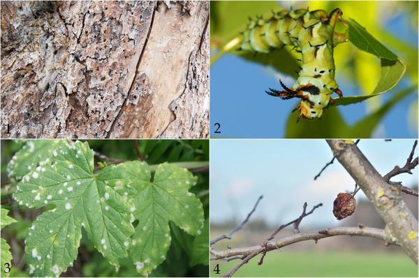 Проблемные состояния растений: 1. короед проедает ходы в стволах хвойных деревьев; 2. ореховая волнянка атакует листву; 3. мучнистая роса; 4. монилиоз.