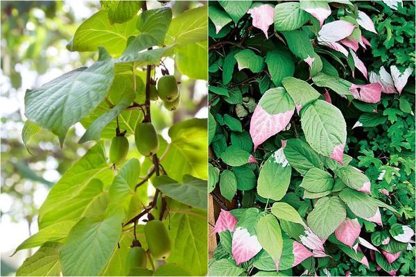 Слева: В северо-западном регионе рекомендуется высаживать актинидии с южной и юго-западной стороны от строений, в южных областях – с северо-восточной или северной. Справа: Только актинидия коломикта имеет такую интересную окраску листьев. Фото Ольги Ворониной.