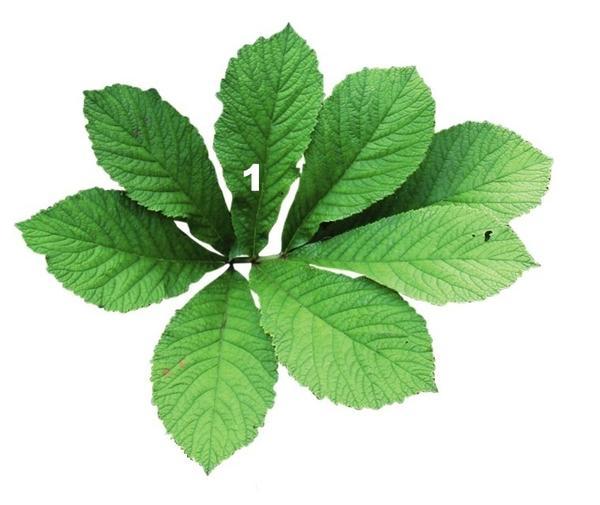 Роджерсия бузинолистная (Rodgersia sambucifolia)