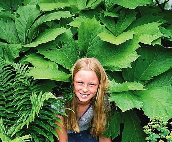 Роджерсия привлекает не цветками, а своими крупными красивыми листьями