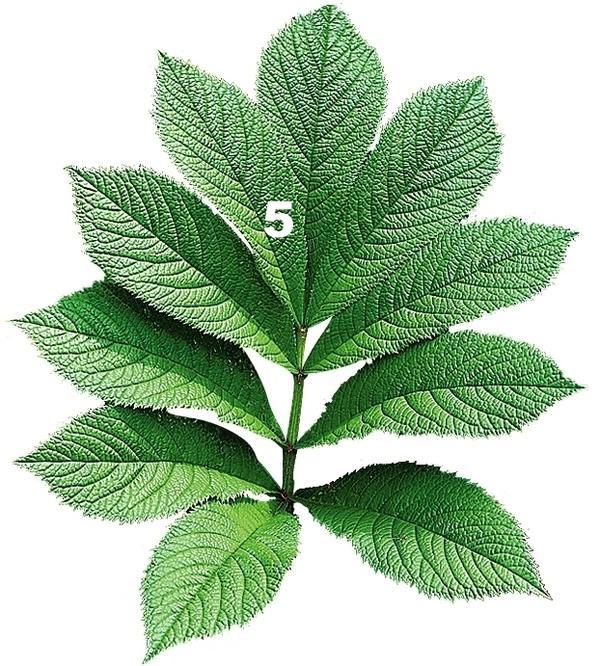 У роджерсии непальской (Rodgersia nepalensis) листочки на черешке листа посажены на большом расстоянии друг от друга