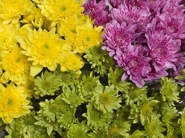 Мелкоцветковые хризантемы