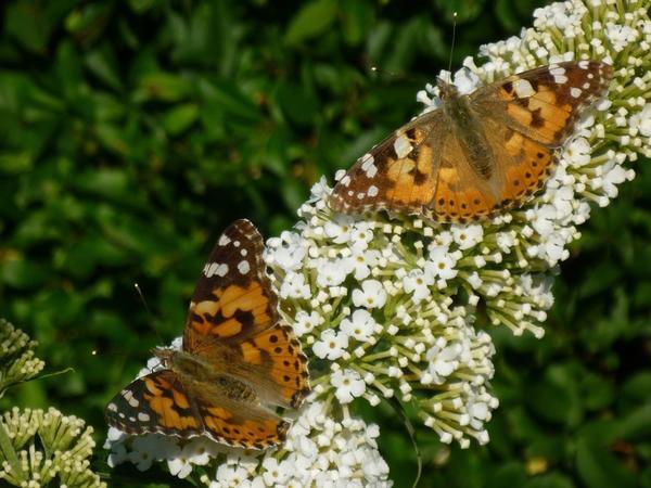 На буддлеях всегда много бабочек