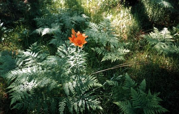 На этом фото цветёт не папоротник, а лилия, сбежавшая в лес))