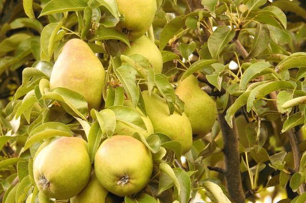 Если у плодоносящего дерева груши прирост составил 20 см, значит ему нужно удобрение.