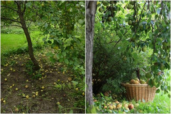 Лучше всего удались деревья из московских уссуриек.