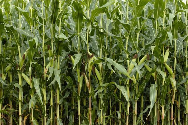 Когда кукуруза тесно посажена, это не очень хорошо сказывается на урожае