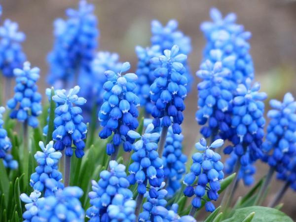Синенькие цветы название и фото