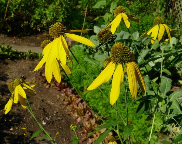 Рудбекия рассеченная (Rudbeckia laciniata). Фото: chipmunk_1 via Foter.com