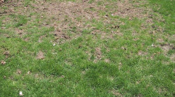 Ремонт газона еще впереди