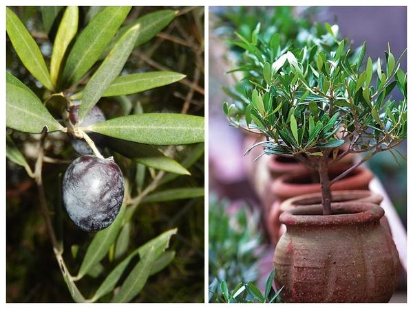 Слева: плоды оливы. Справа: молодые деревца можно приобрести в горшках.