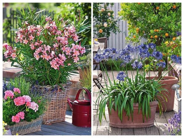 Слева: Неизменно притягивают взгляд лососевые цветки олеандра, растущего в корзине. Южный житель отблагодарит за еженедельный полив и уход. Справа: великолепная игра красок соцветий агапантуса и плодов каламондина завораживает.