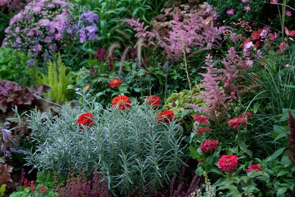 Астильба хорошо сочетается со многими растениями