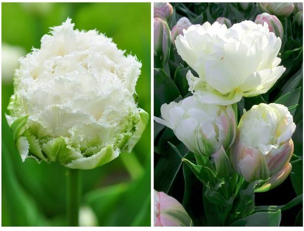 Слева: бахромчатый махровый тюльпан Snow Crystal. Справа: тюльпан Ice Cream. Кстати, часто он бывает многоцветковым.